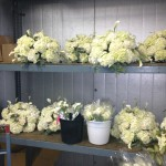 Centerpieces in the cooler,white hydrangea interwoven with Vendela roses, mini Calla lilies